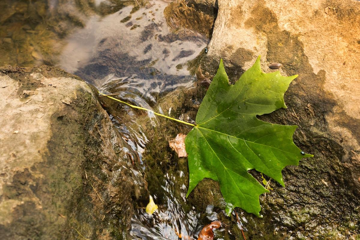 Green maple leaf on stream