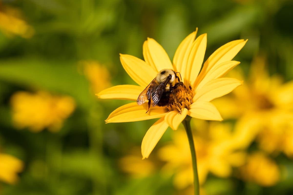 A bumblebee on a perennial