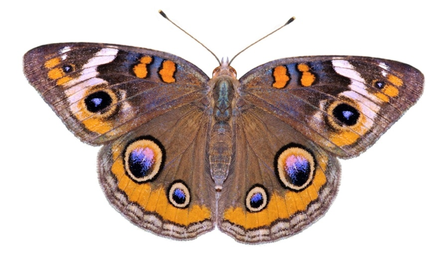 An image of a Common Buckeye butterfly.