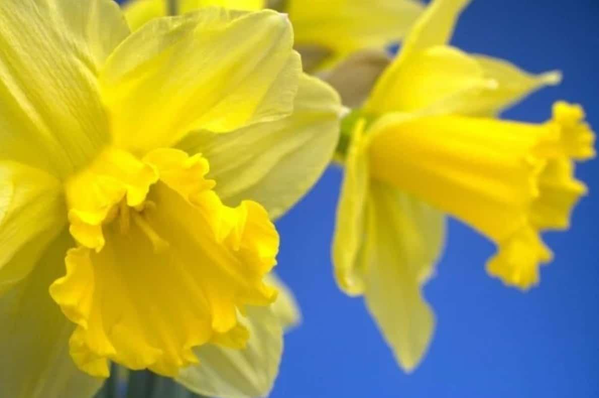 An image of Daffodil perennials.