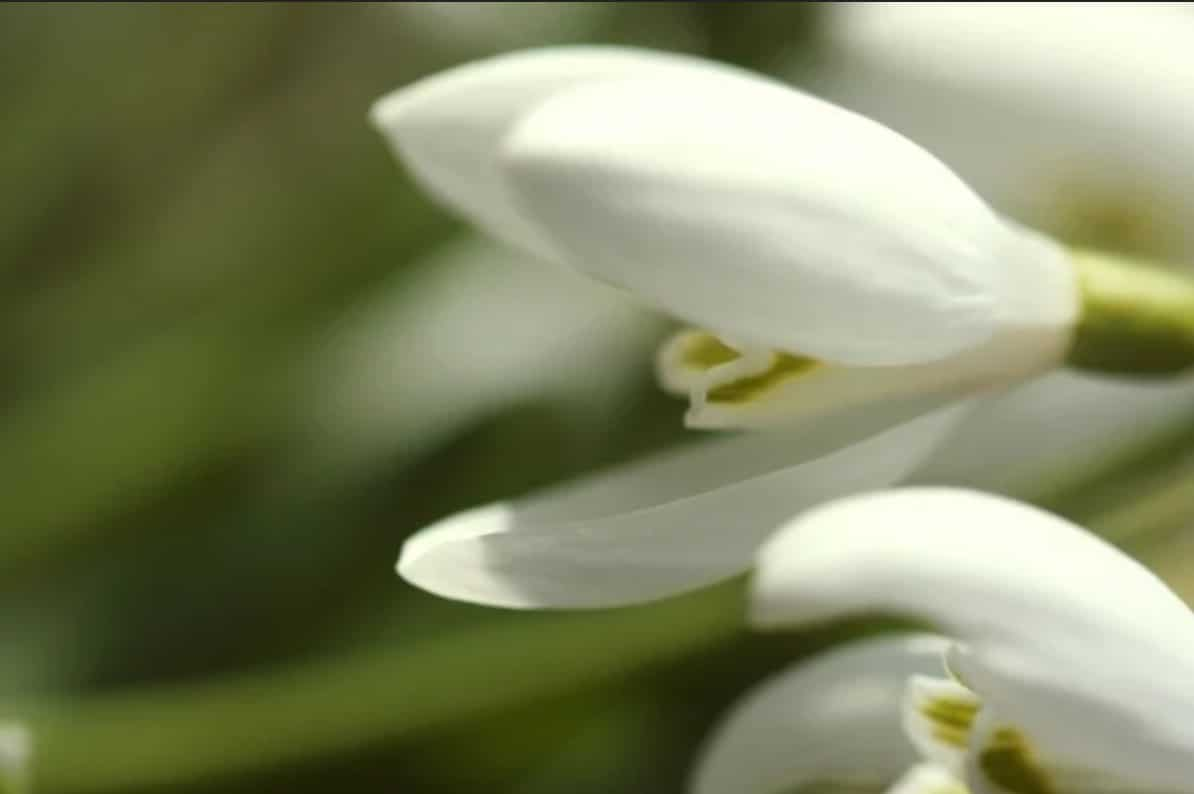 An image of Snowdrop perennials.