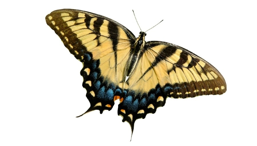 An image of an Eastern Tiger Swallowtail butterfly.