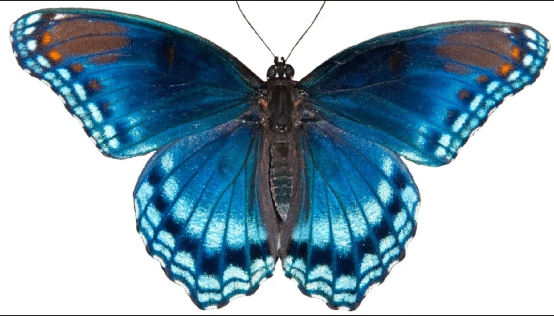 An image of a Red Spotted Purple Admiral butterfly.