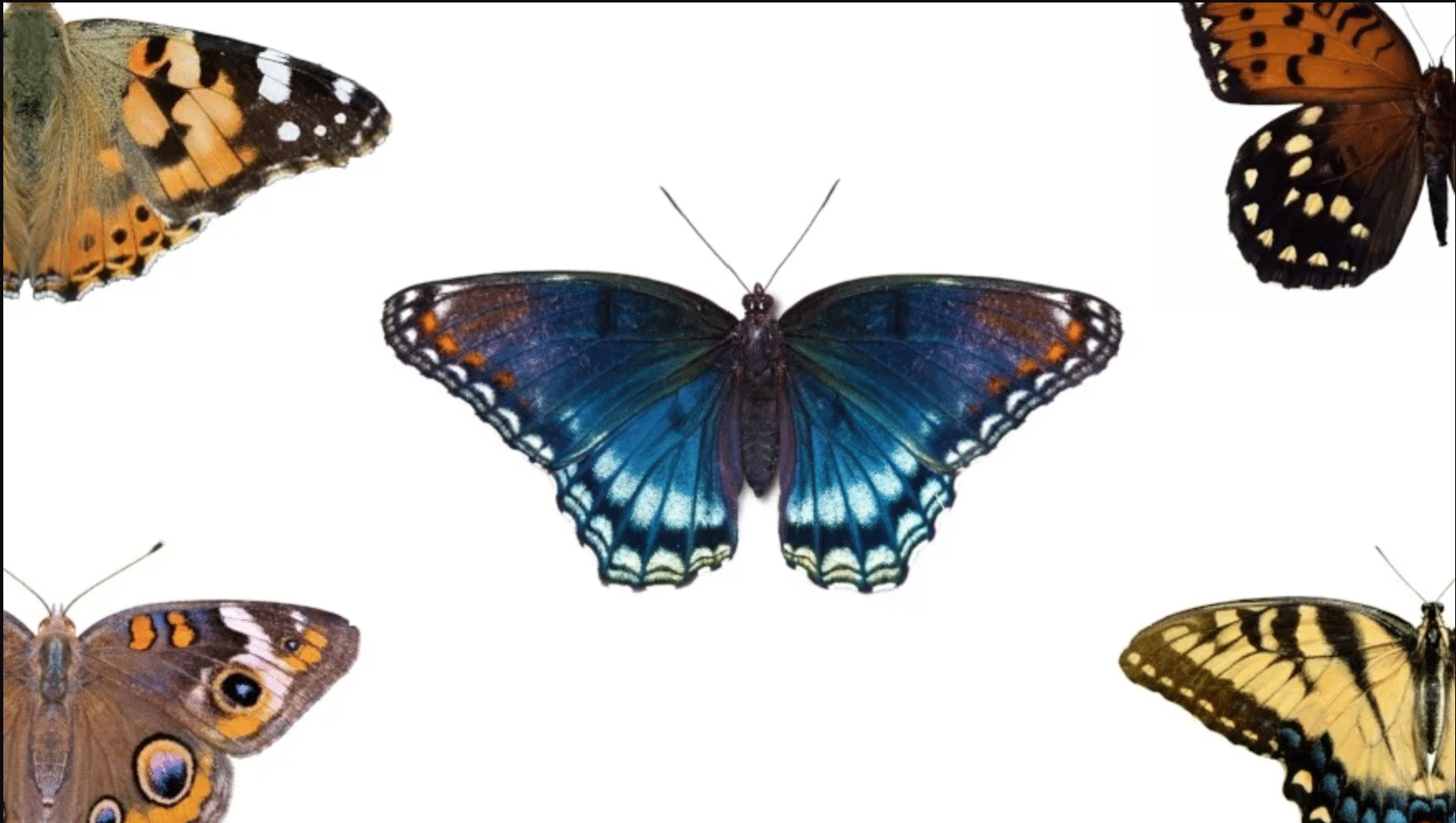 Various butterflies on a white background