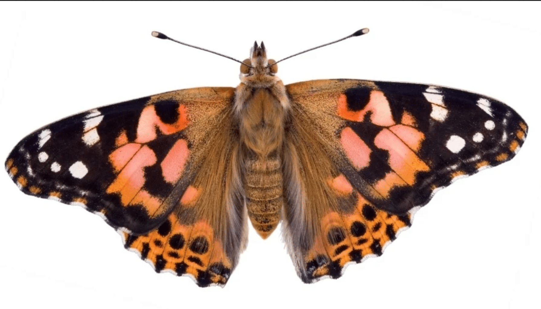 An image of a Painted Lady butterfly.