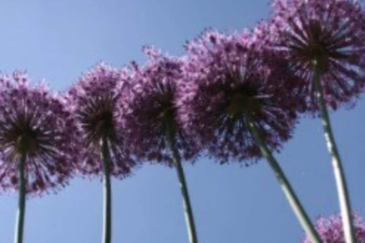 An image of Allium perennials.