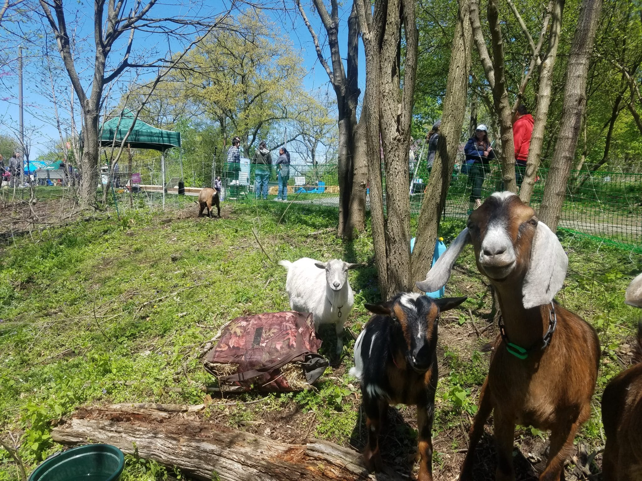 Goats in a wooded area