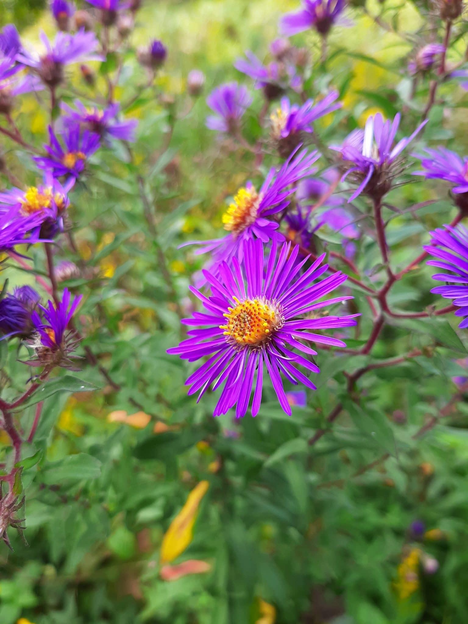 Purple flower in bloom