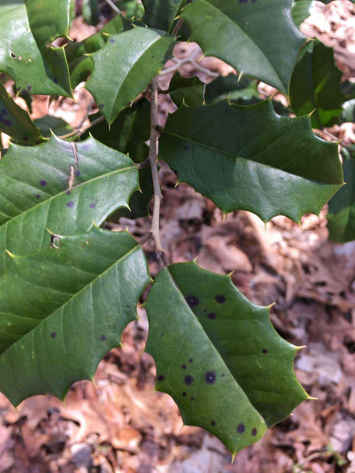 Photo of pointed green leaves