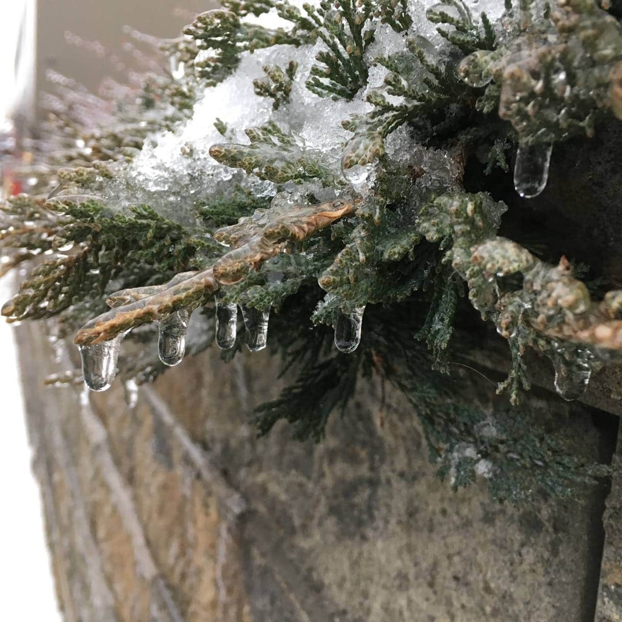 Evergreen branch with icicles