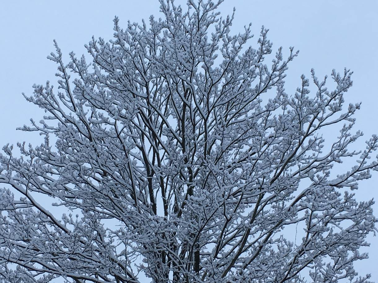 View looking up at snow covered branches