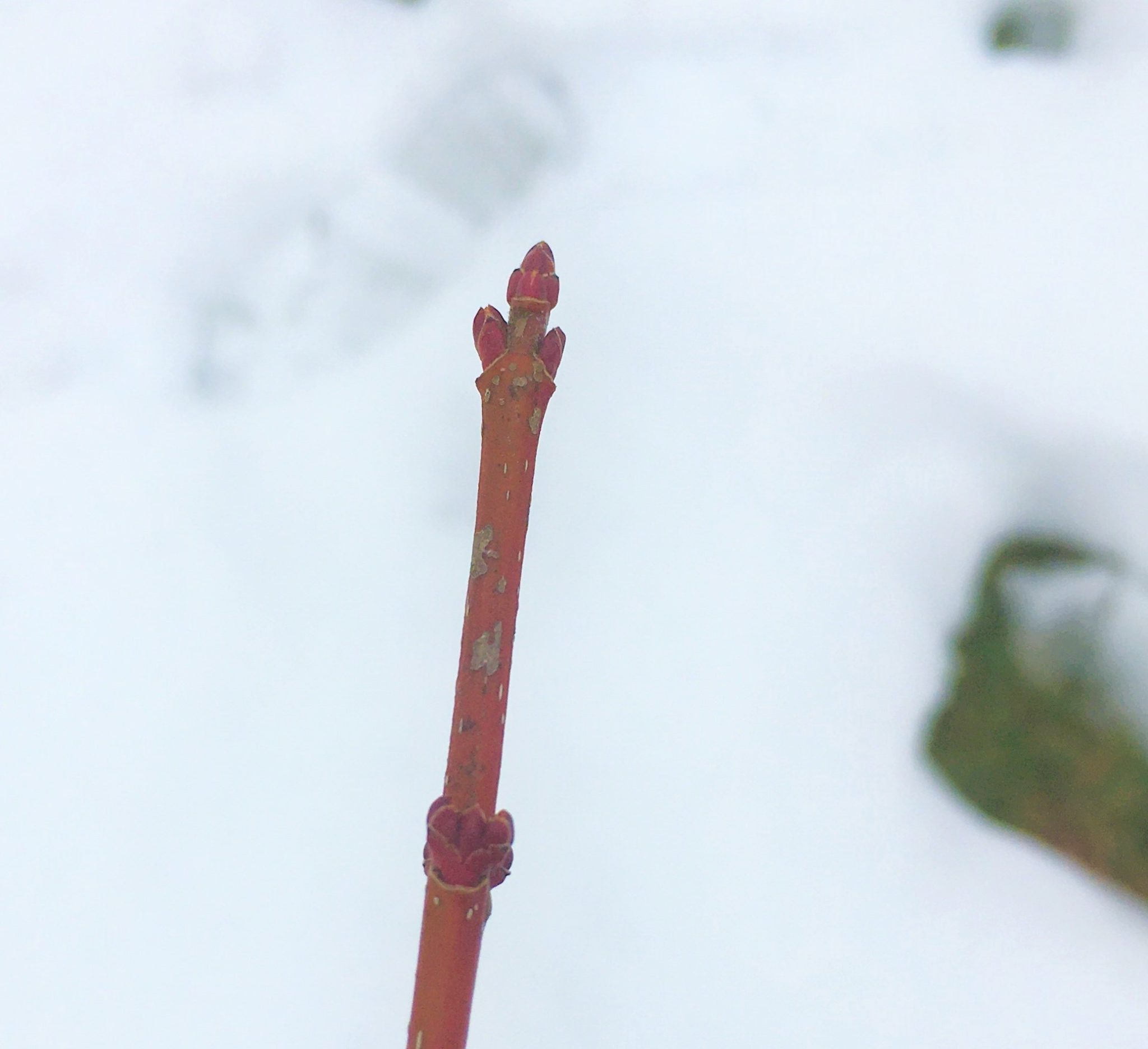 Red Maple buds with white background
