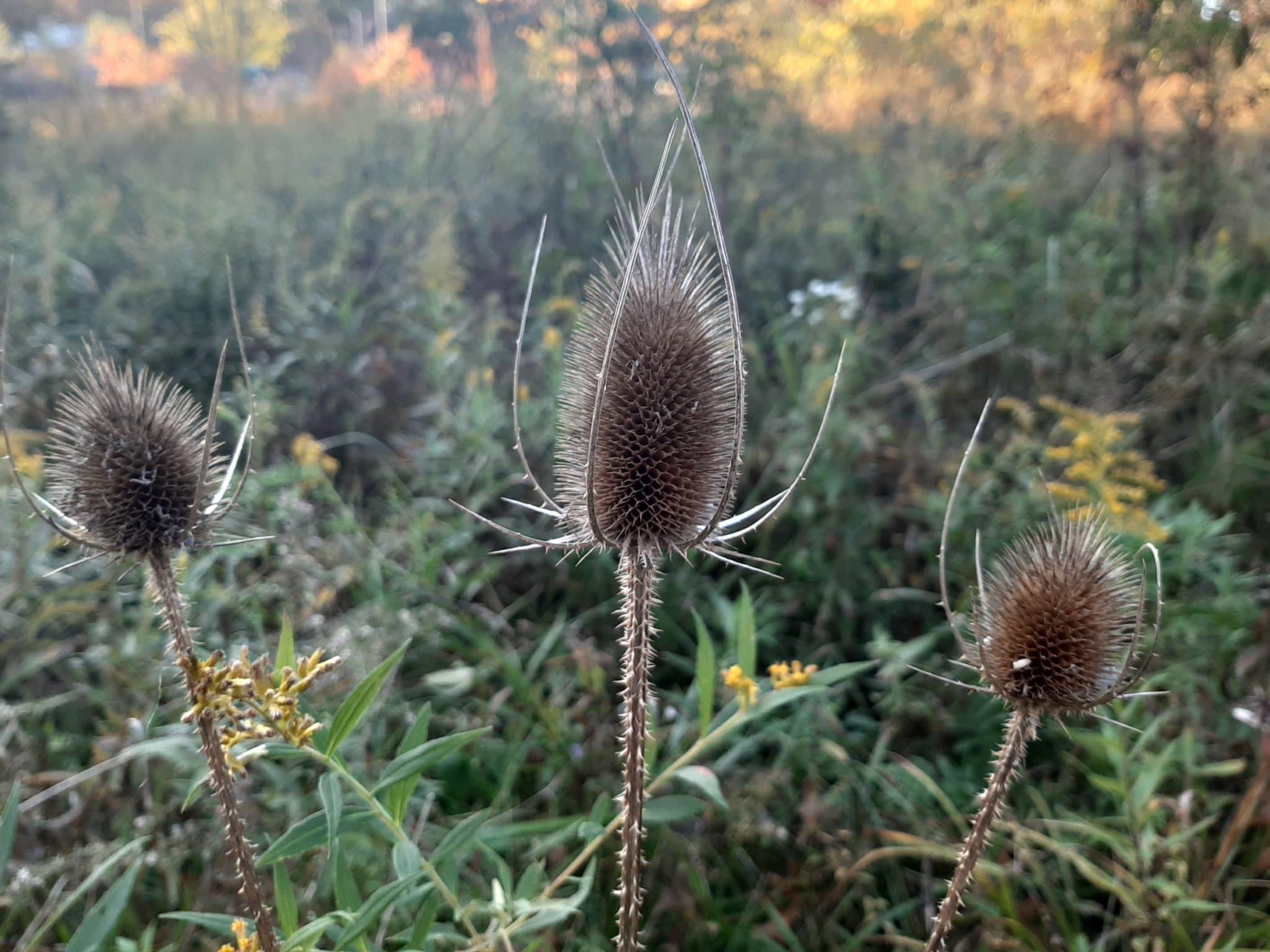 Teasels in a field