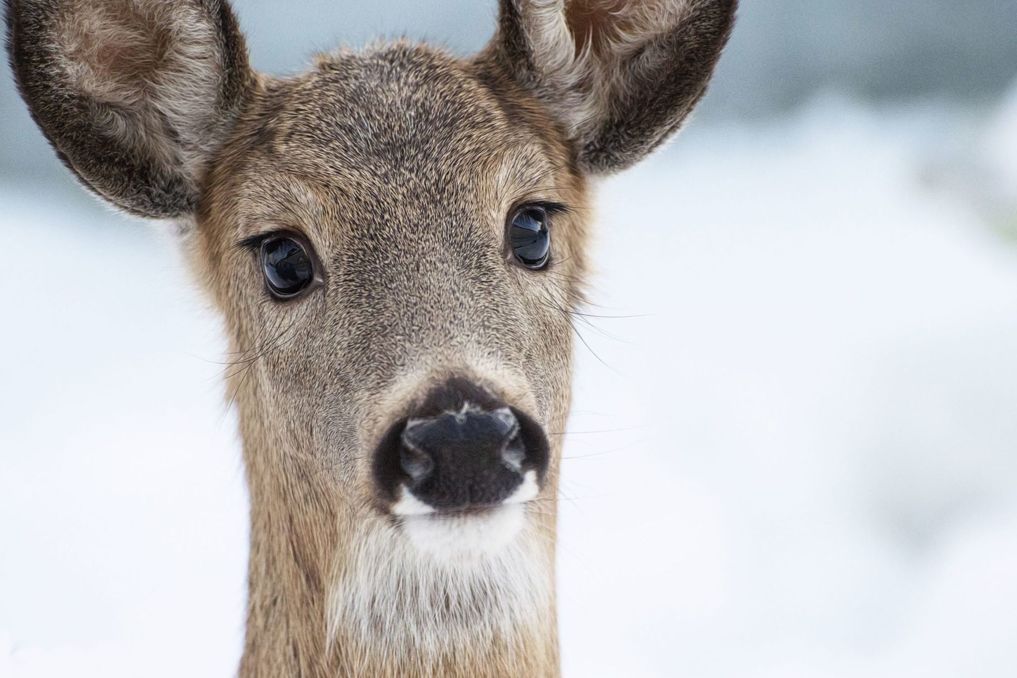 Image of a deer in the winter, zoomed in on its face