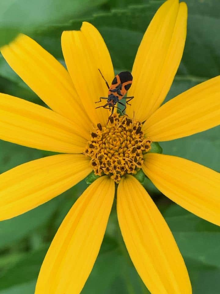 Photo of insect on a yellow flower