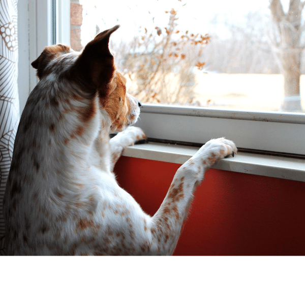 A photo of a dog watching through a window