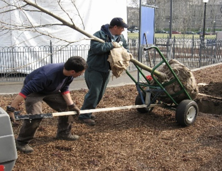 Two people planting balled and burlap trees in a park.