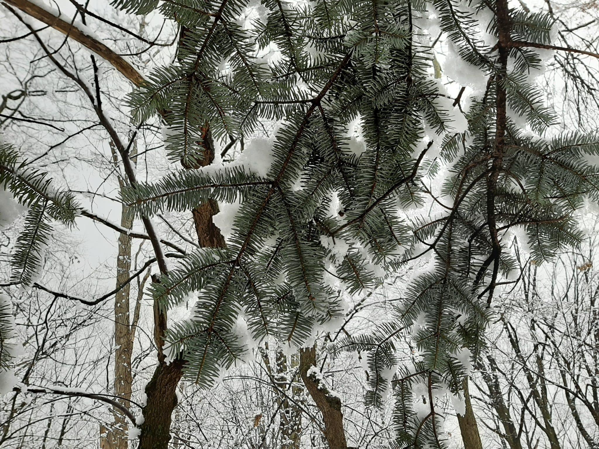 Evergreen tree in snow