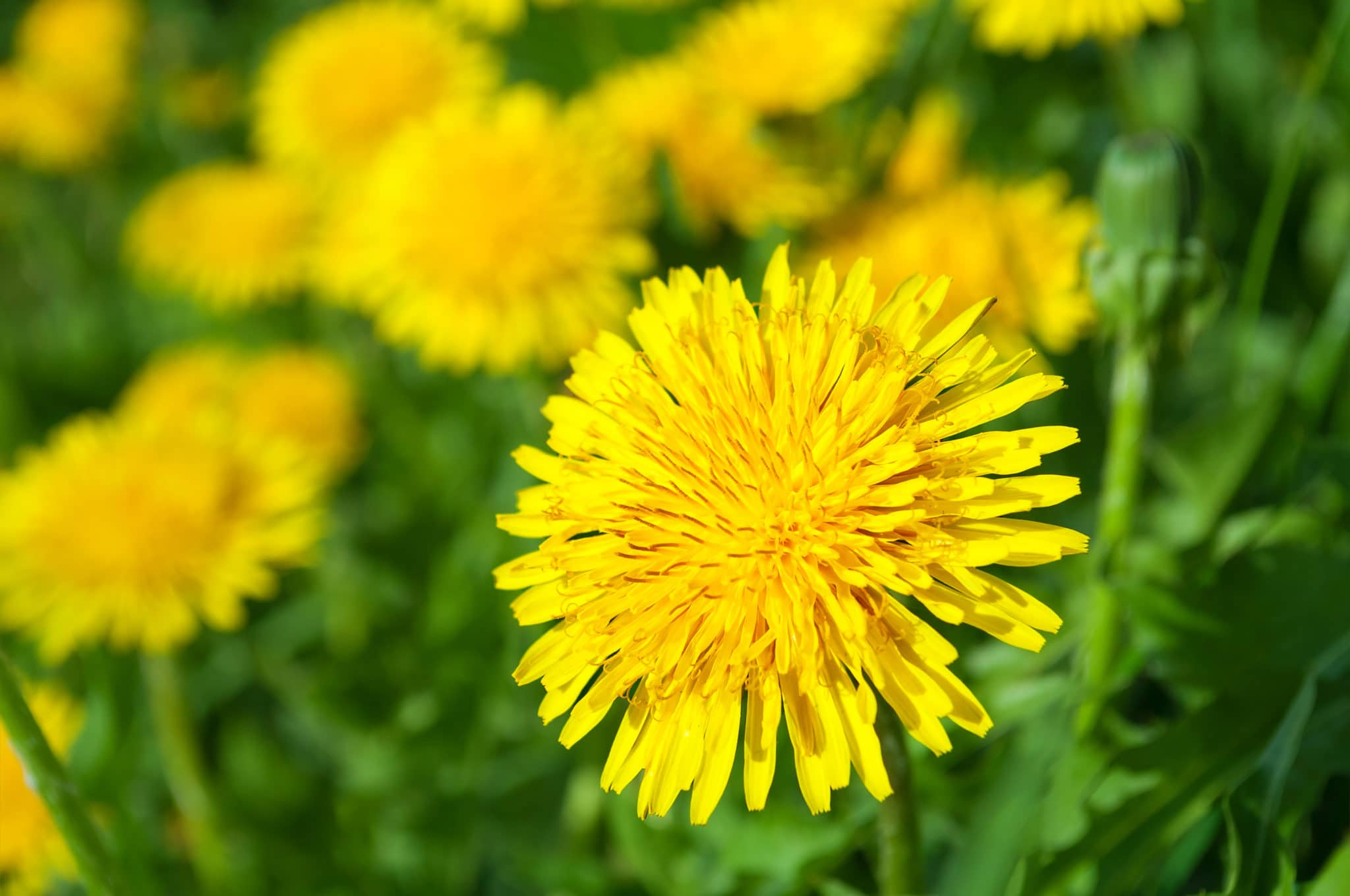 dandelions in the spring