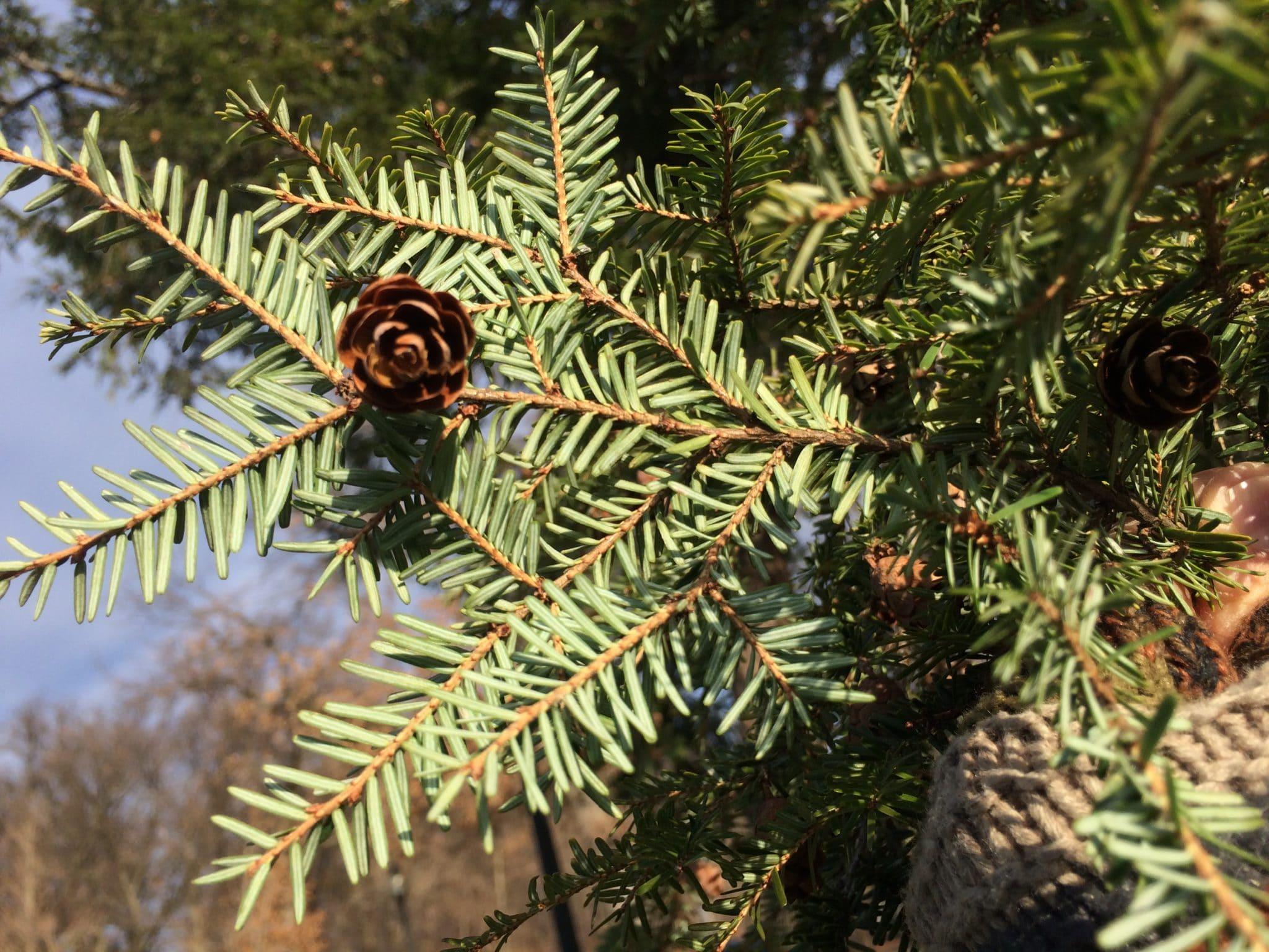 Pine cone in a hemlock branch