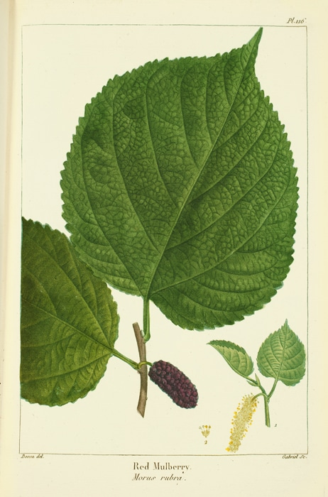 Red Mulberry leaves on a book page