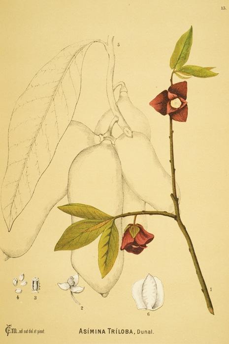 Plant identification page of Asimina Triloba