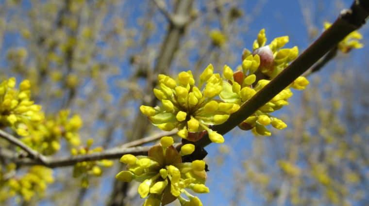 Cornelian Cherry (Cornus Mas) Buds Opening Closeup RVP (1)