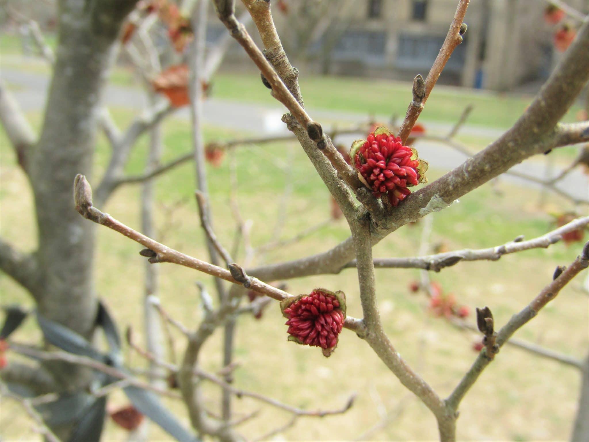 Persian ironwood in bloom