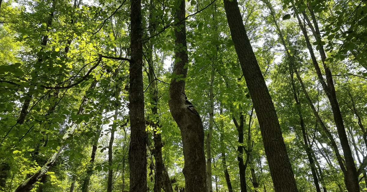 Large rat snake in a tree