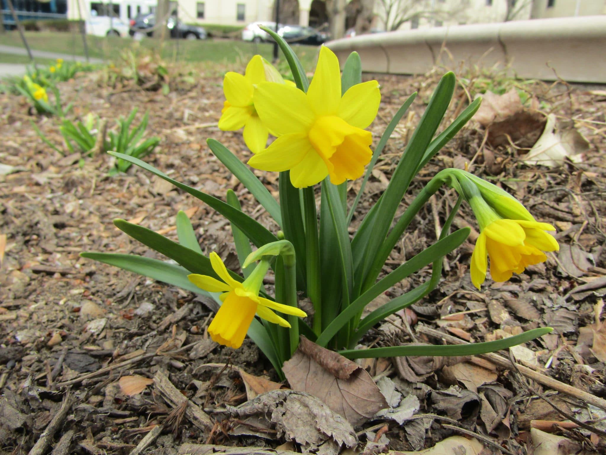 Yellow daffodil in bloom