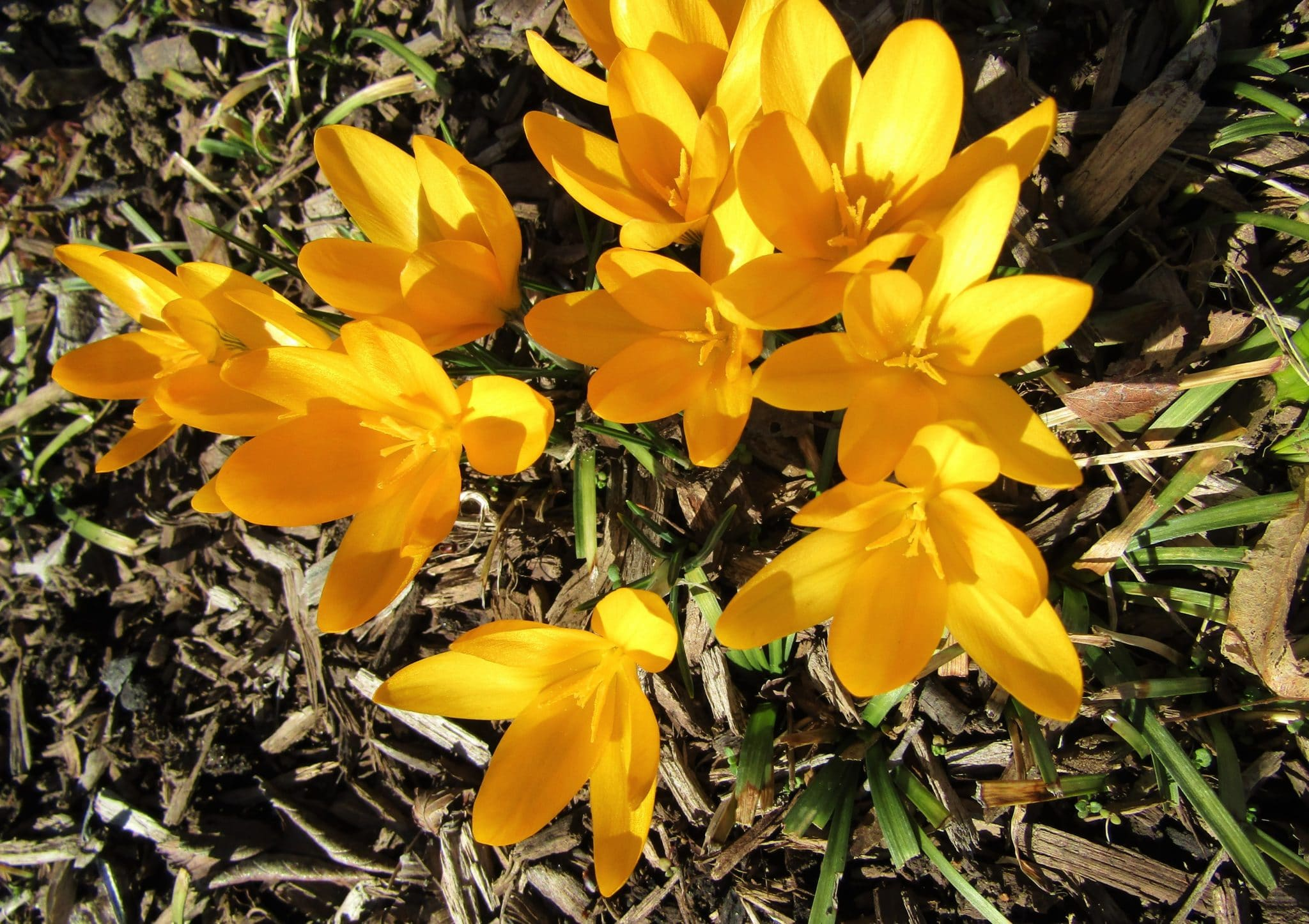 Yellow crocuses