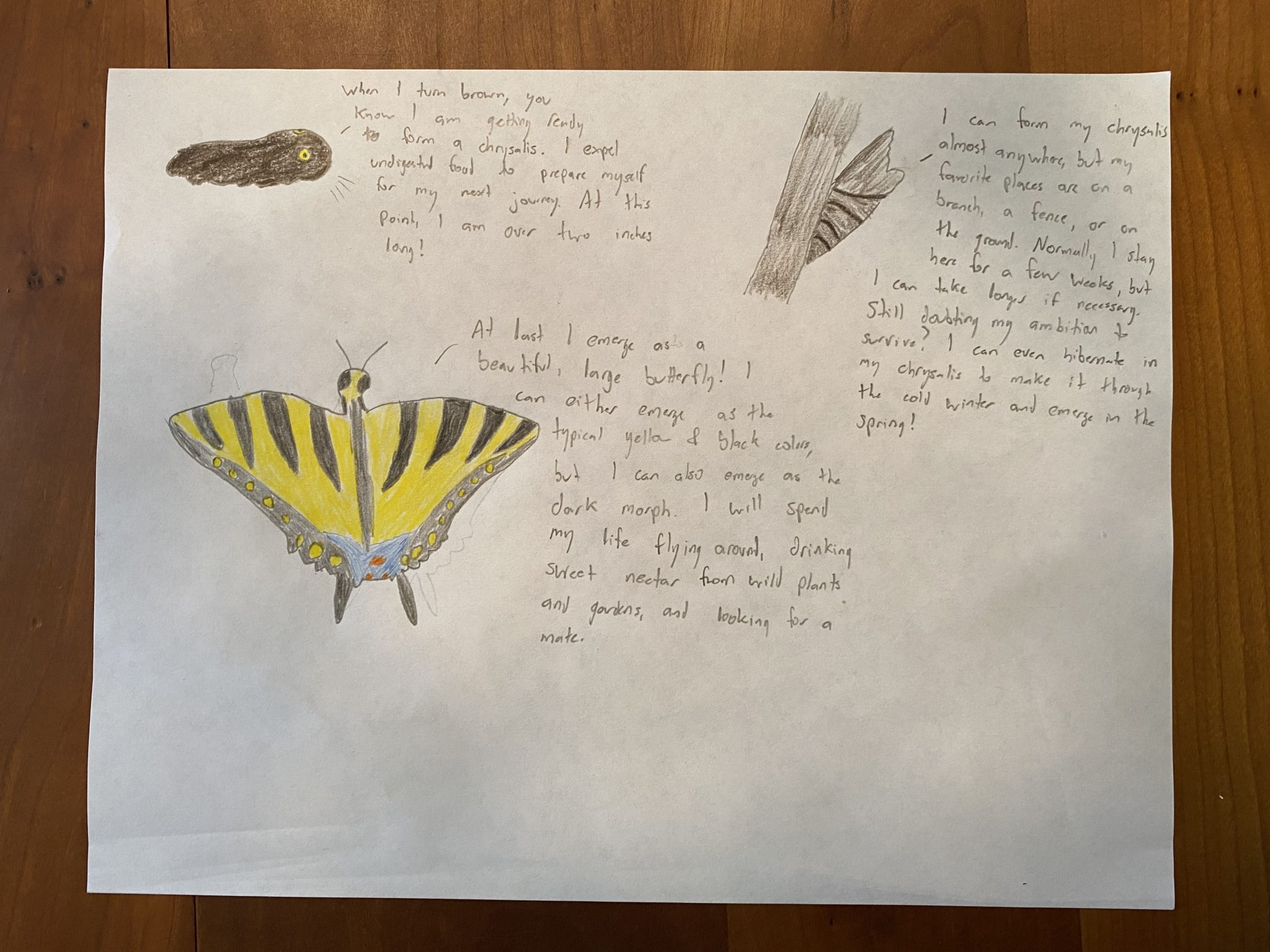Drawing of swallowtail butterfly
