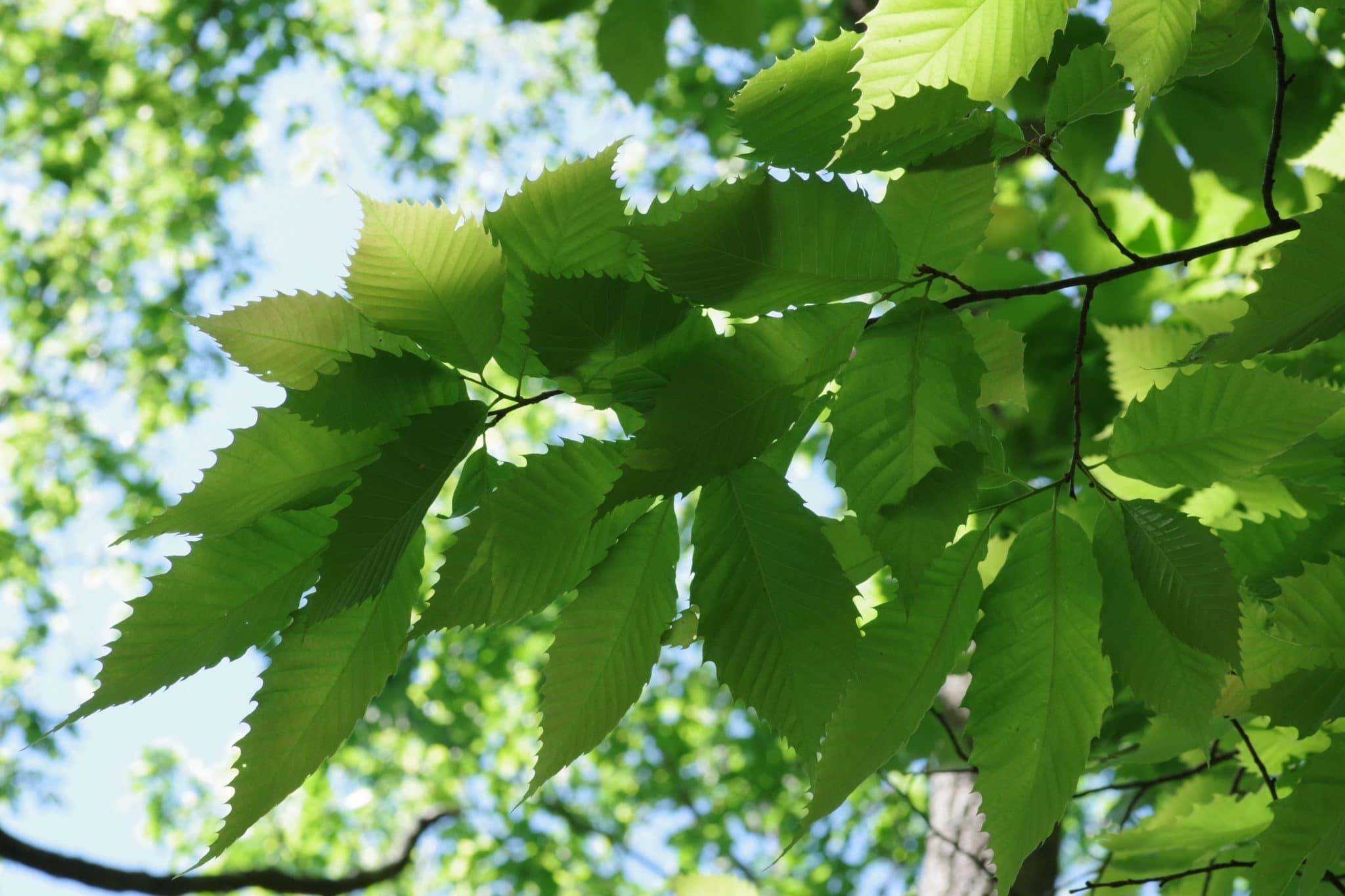 American Chestnut leaves