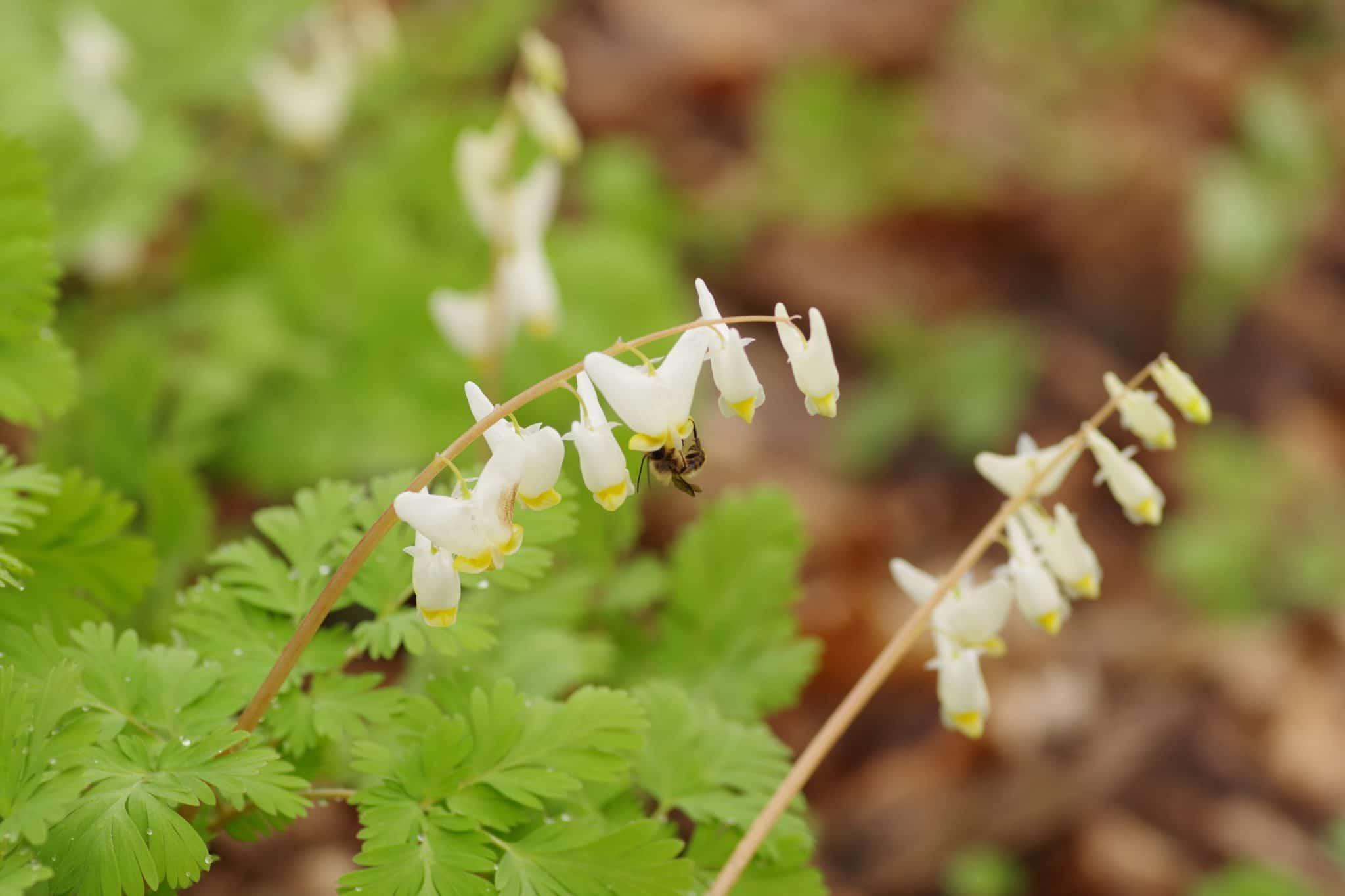 Dutchman's Breeches flowers