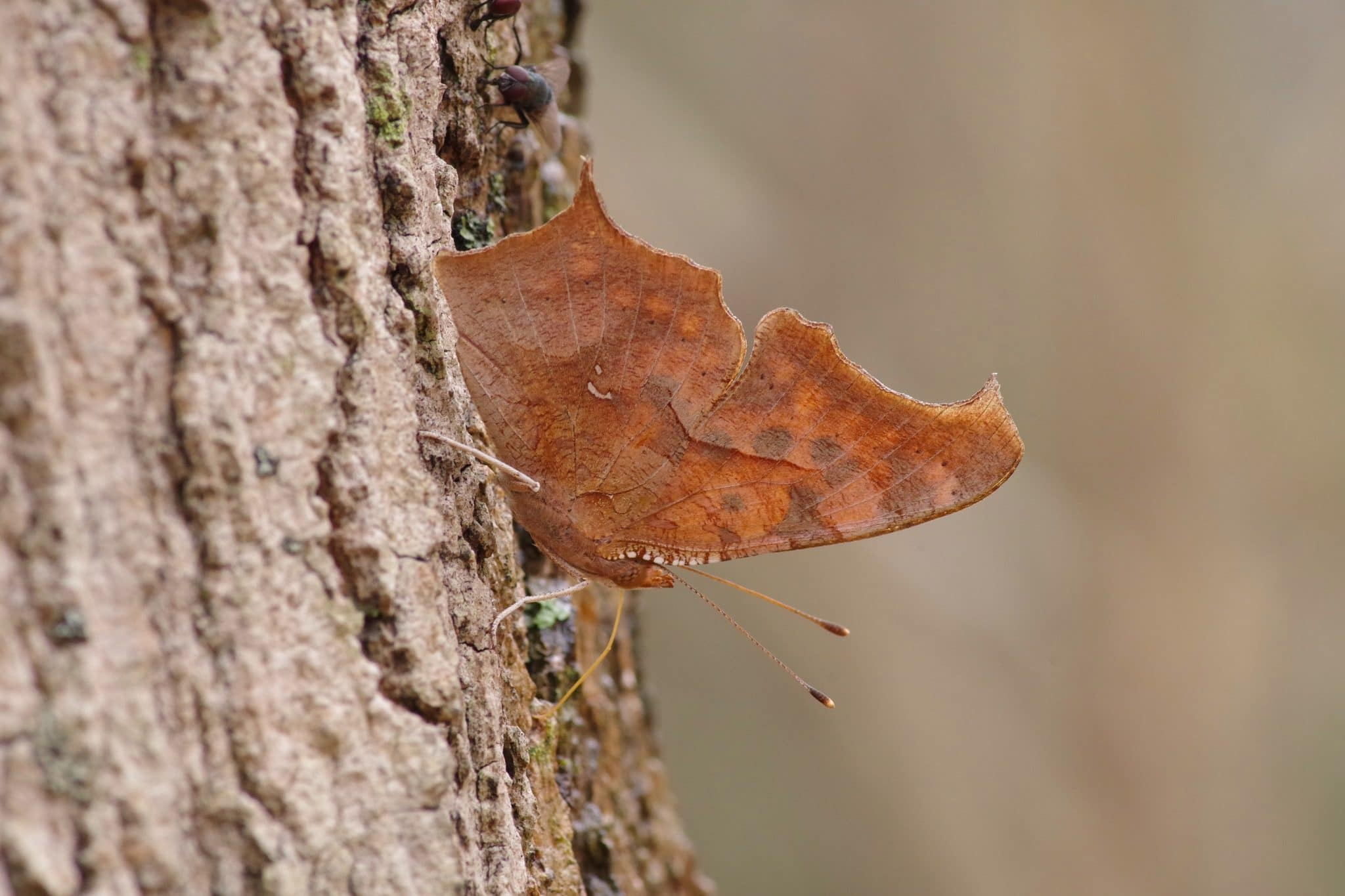 Question Mark butterfly on a tree