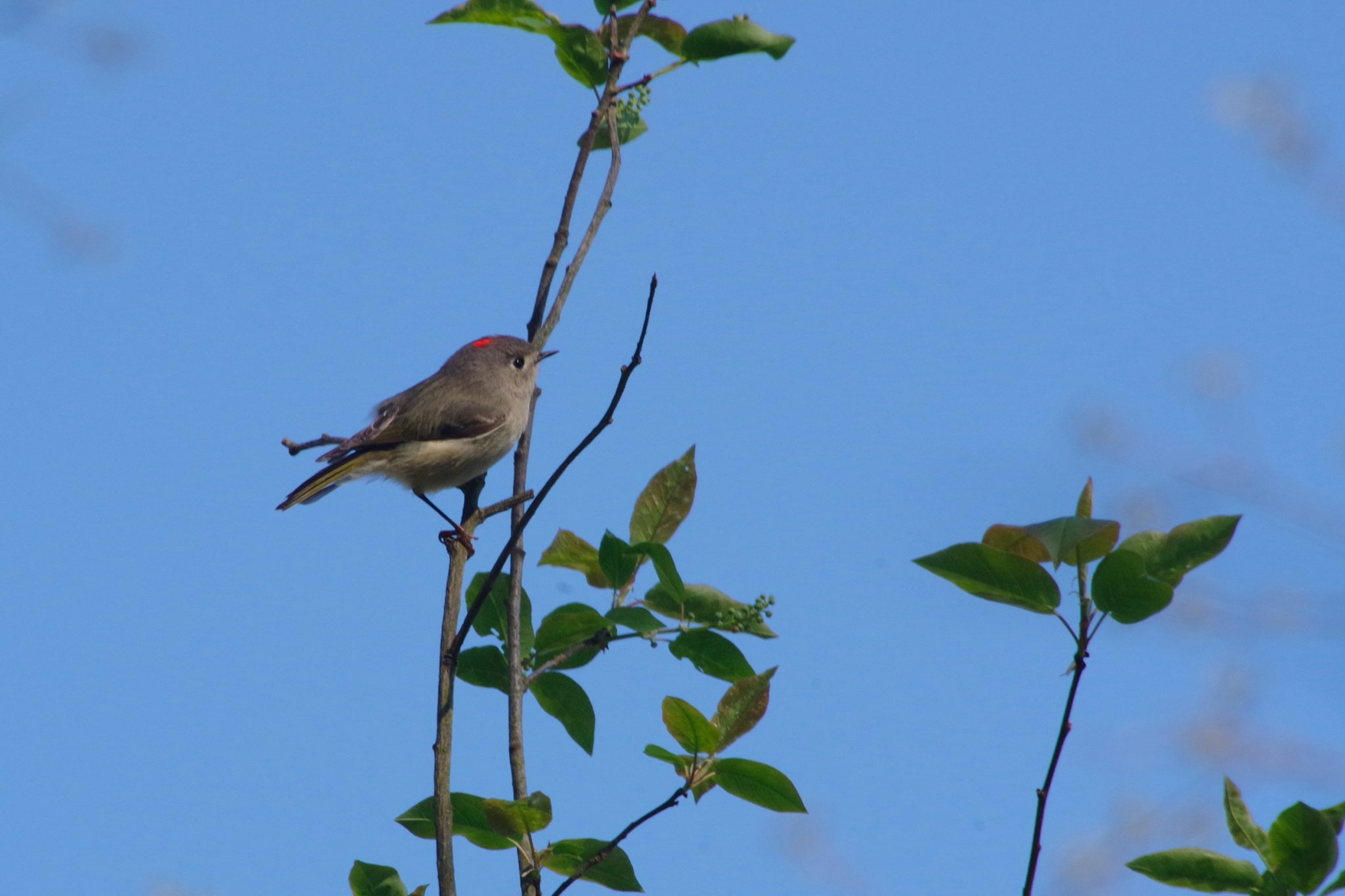 Ruby-crowned kinglet in a tree