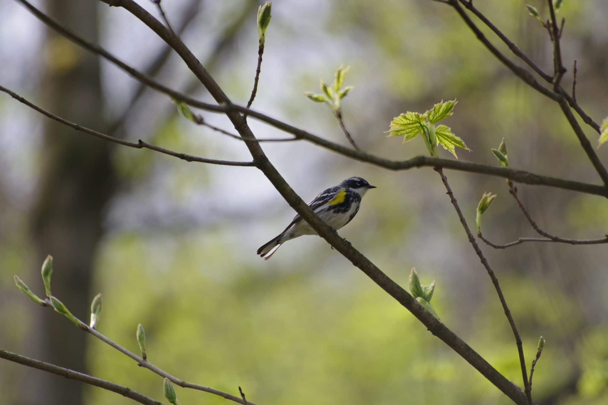 Black, white, and yellow bird on a branch