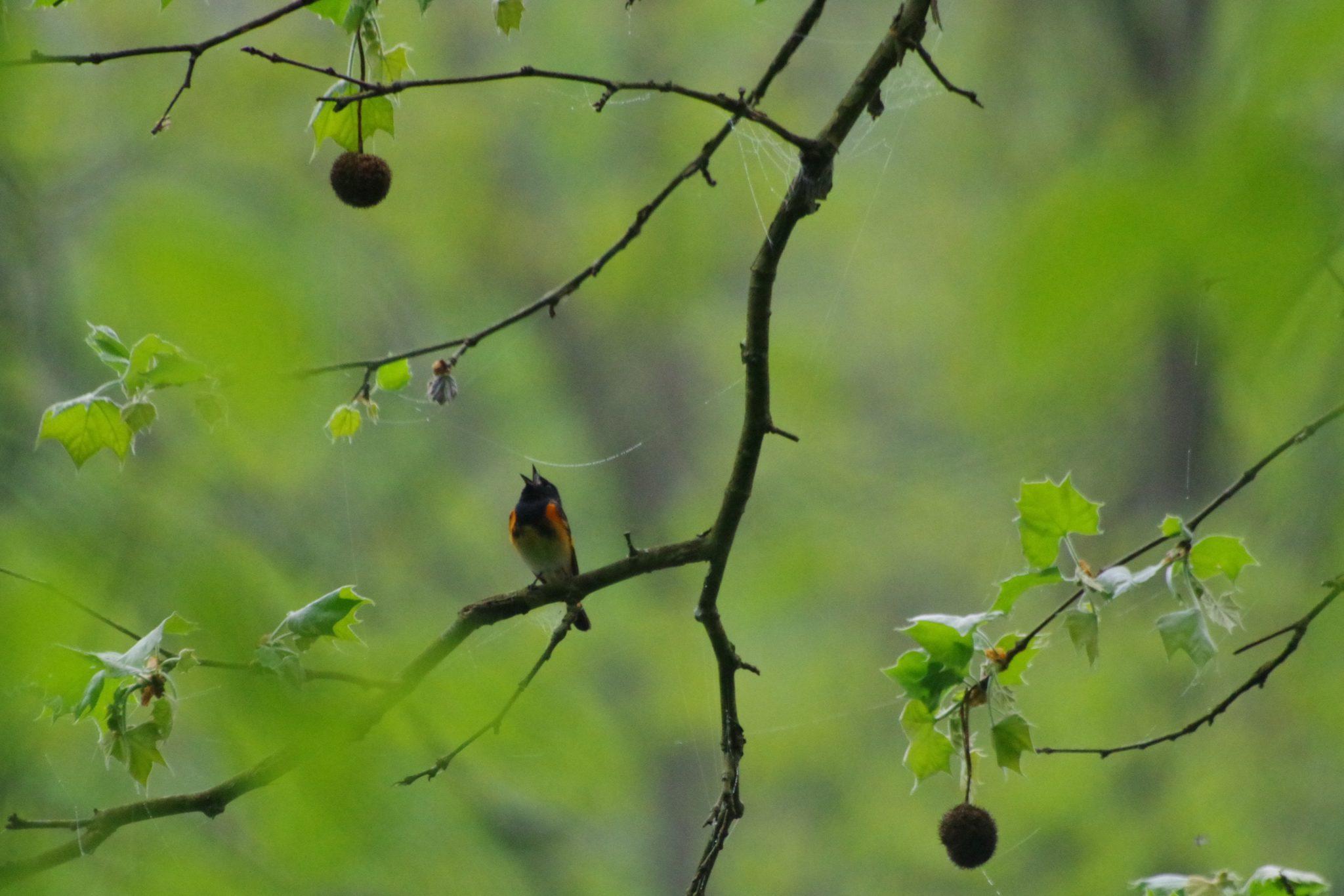 American Redstart in a tree