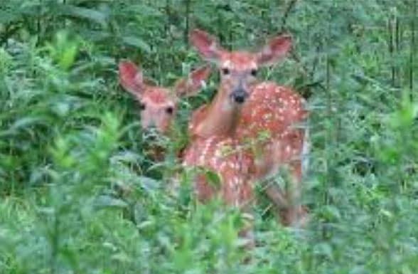 two deer in a field
