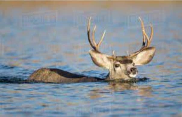 deer swimming