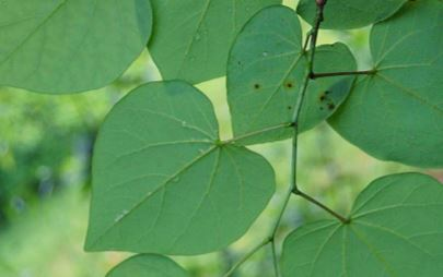 picture of eastern red bud leaves