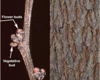 eastern redbud bark and buds