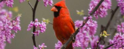 cardinal in an eastern redbud