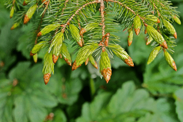 close up picture of spruce tips on a tree