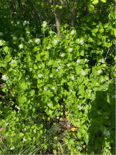 picture of garlic mustard plant
