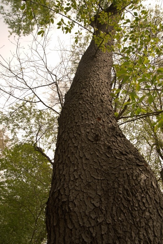image of a black cherry tree in frick park