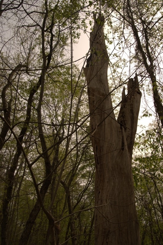 a standing dead tree in Frick Park