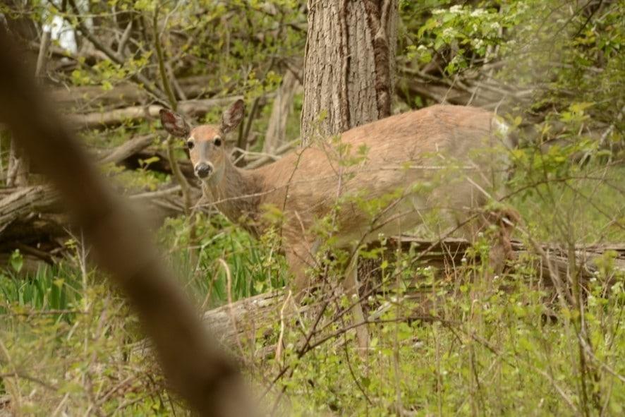 deer foraging for food