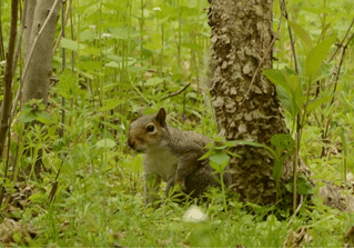 squirrel looking for food on forest floor