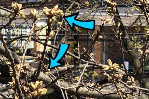 buds on oak tree